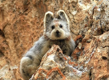 26F1B5F700000578-3009783-Adorable_The_Ili_Pika_is_one_of_the_world_s_rarest_mammals_and_h-a-9_1427222226572