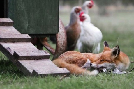 fox-henhouse-600x400